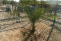 Extinct palm variety grows anew from ancient jar of seeds unearthed by archaeologists